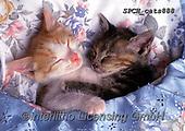 Xavier, ANIMALS, REALISTISCHE TIERE, ANIMALES REALISTICOS, cats, photos+++++,SPCHCATS888,#a#, EVERYDAY
