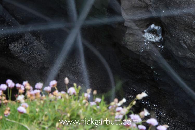 Kittiwakes (Rissa tridactyla) flying and nesting on sea cliff ledge. Motion blur, long exposure, Isle of Lunga, Treshnish Isles, Mull, Scotland, June.