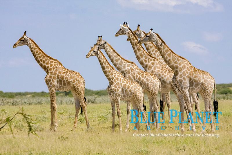 Herd of Giraffes (Giraffa camelopardalis)
