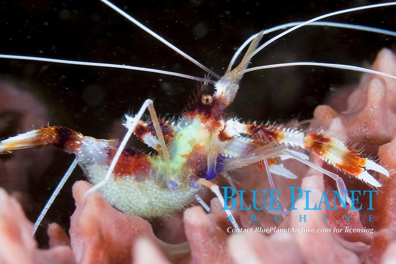 Banded Coral Shrimp, Stenopus hispidus, with eggs, St. Vincent, Caribbean, Atlantic