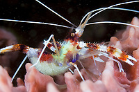 Banded Coral Shrimp, Stenopus hispidus, with eggs, St. Vincent, Caribbean, Atlantic
