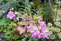 Podranea ricasoliana Pink Delight, aka Pandorea, tropical vining shrub, in garden