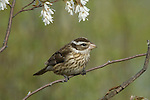 Rose-breasted grosbeak - female