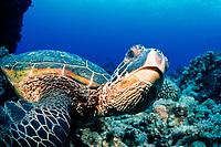 green sea turtle, Chelonia mydas, resting on bottom, Turtle Pinnacles, Kona Coast, Big Island, Hawaii, USA, Pacific Ocean