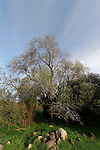 T-103 Almond tree in the Shephelah
