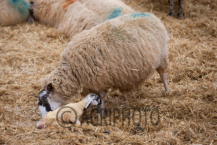 A ewe with her new born lamb..Picture Tim Scrivener date taken 2nd March 2013.Mobile 07850 303986 e-mail tim@agriphoto.com.          ?.covering agriculture in the Uk?......