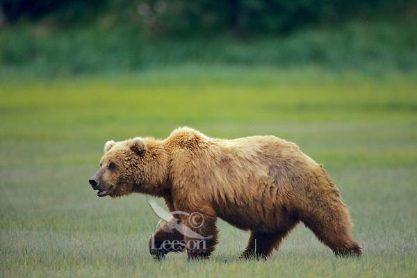 Grizzly Bear or Coastal Brown Bear (Ursus arctos) along the Katmai coast, Alaska Peninsula, Alaska.  Summer.