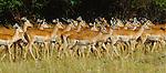 A herd of Impalas walks through the grasses of the Masai Mara National Reserve, Kenya