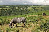 Dartmoor ponies grazing on common land in Dartmoor National Park