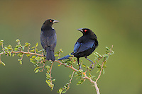 Bronzed Cowbird (Molothrus aeneus), pair, Dinero, Lake Corpus Christi, South Texas, USA
