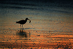 A small bird feed of the shores of Half Moon Bay during sunset off the California coast.