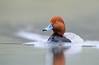 Male Redhead (Aythya americana). Lake County, Oregon. May.