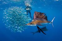 Jesse Cancelmo (background) photographs Atlantic sailfish, Istiophorus albicans, attacking bait ball of Spanish sardines (aka gilt sardine, pilchard, or round sardinella), Sardinella aurita, off Yucatan Peninsula, Mexico (Caribbean Sea)