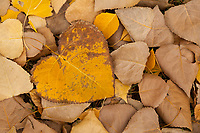 A heart-shaped cottonwood leaf stands out amidst a pile of smaller cottonwood leaves.