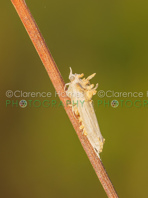 A moth covered with a parasitic fungus (Cordyceps sp.)
