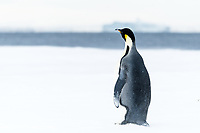 Snow Hill Island, Antarctica. Adult Emperor penguin traveled to the edge of the ice shelf to fish.