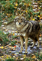 MA27-043z  Eastern Coyote - Canis latrans