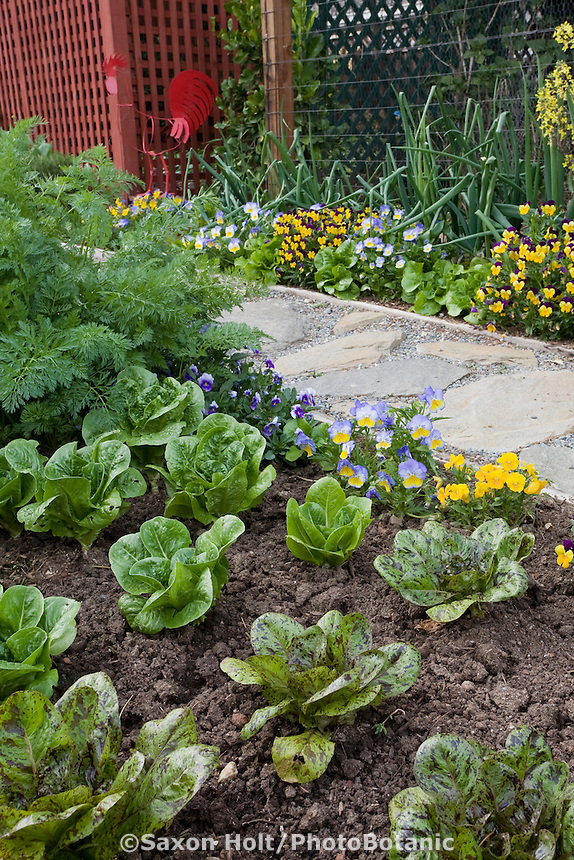 Pathway between mounded organic soil mixed vegetable bed with baby lettuces spotted 'Forellenschluss' (Lactuca sativa), herbs and flowers in Rosalind Creasy front yard garden