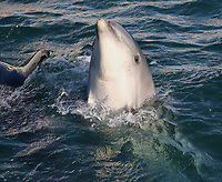 BNPS.co.uk (01202 558833)<br /> Pic: TomBrereton/BNPS<br /> <br /> Pictured: One of the dolphins appears to pose for the photographer<br /> <br /> Dolphins from one of the three colonies known to inhabit UK waters have become the first to swim over 800 miles to join another group, marine scientists have revealed.<br /> <br /> The two bottlenose dolphins are known to have left the Moray Firth in Scotland in 2018 and have now joined the group that inhabit the sea off the south west coast.