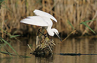 Little Egret, Egretta garzetta, adult fishing, Samos, Greek Island, Greece,Europe
