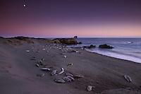 California, San Luis Obispo County, San Simeon, elephant seals with moonrise