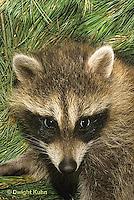 MA25-134z  Raccoon - young raccoon - Procyon lotor