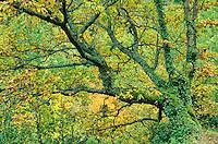 Oak Tree, Quercus petraea, in the mountains of the Sierra Ancares near Degrada, Galicia, Spain, AGPix_0125.