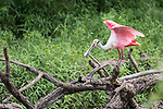 Damon, Texas; a roseate spoonbill flaps its wings while standing on a dead tree branch at the edge of the slough in late afternoon shaded light