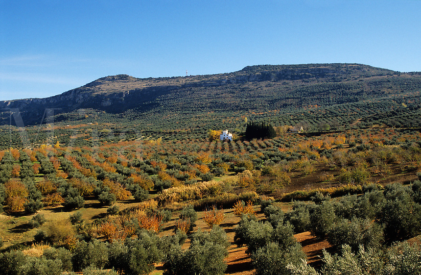 Spain. Andalucia/Andalusia.  Mixed olive and soft fruit plantation near Jaen..