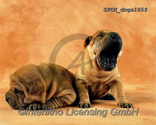 Xavier, ANIMALS, REALISTISCHE TIERE, ANIMALES REALISTICOS, dogs, photos+++++,SPCHDOGS1059,#a#, EVERYDAY