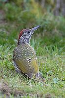 Grünspecht, Jungvogel, Grün-Specht, Grasspecht, Erdspecht, Specht, Spechte, Picus viridis, green woodpecker, European green woodpecker, Le Pic vert, pivert