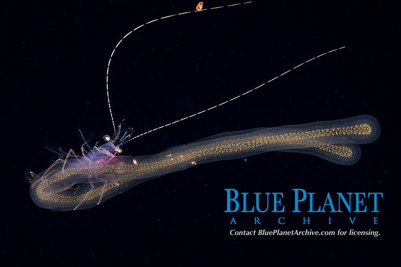 pelagic shrimp, riding on a colonial radiolarian, probably Collozoum sp., in surface waters of deep open ocean at night, Kona Coast, Big Island, Hawaii, USA, Pacific Ocean