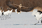 White-tailed Sea Eagle and Japanese Cranes, Japan