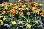 De Flor en Flor.<br /> Festival de Flors i Jardins de Barcelona.<br /> Del 13 al 17 d'abril d'enguany i al poble espanyol de Barcdelona tindra lloc aquest festival, en el que hi hauran entre altres exposicions de roses, orquidies i bonsais. Tambe hi trovareu divuit decoracions florals a diferents espais, tallers diversos i altres activitats  relacionades amb les flors, i musica en directe, a mes de les activitats habituals del Poble Espanyol.<br /> Margarita del Cabo (Dimorphoteca Ecklonis).