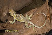 1R17-514z  Collared Lizard, Male, Crotaphytus collaris