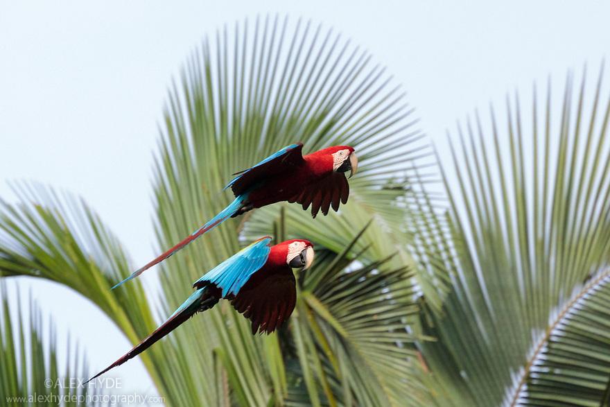 Red-and-Green Macaws (Ara chloropterus), Blanquillo Clay Lick, Manu Biosphere Reserve, Peru. November.