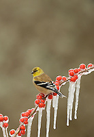 American Goldfinch (Carduelis tristis), adult in winter plumage perched on icy branch of Possum Haw Holly (Ilex decidua), Hill Country, Texas, USA