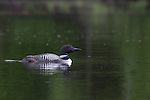 Common loon on the Chippewa Flowage in northern Wisconsin