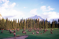 Banff National Park, Canadian Rockies, AB, Alberta, Canada - Elk Herd, Wapiti (Cervus canadensis) grazing on Banff Springs Golf Course