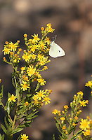 A beautiful white butterfly sitting on tiny yellow flower plant.