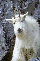 Mountain Goat, Oreamnos americanus,  poised on cliff edge, Gloomy Knob, Glacier Bay National Park, Alaska AGPix_0004.