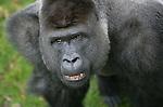 Foto: VidiPhoto..ARNHEM - Er kan er maar één de baas zijn in de gorillagroep van Burgers' Zoo in Arnhem en dat is overduidelijk Bauwi. De zilverrug is inmiddels 17 jaar en heerst als een koning.