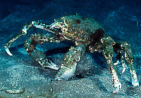 Sheep crab, also known as spider crab (Loxorhynchus grandis)