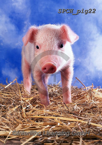 Xavier, ANIMALS, REALISTISCHE TIERE, ANIMALES REALISTICOS, pigs, photos+++++,SPCHPIG22,#a#, EVERYDAY