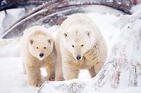 polar bear, Ursus maritimus, mother with cub feeding on a bowhead whale, Balaena mysticetus, carcass on the pack ice, 1002 coastal plain of the Arctic National Wildlife Refuge, Alaska, polar bear, Ursus maritimus