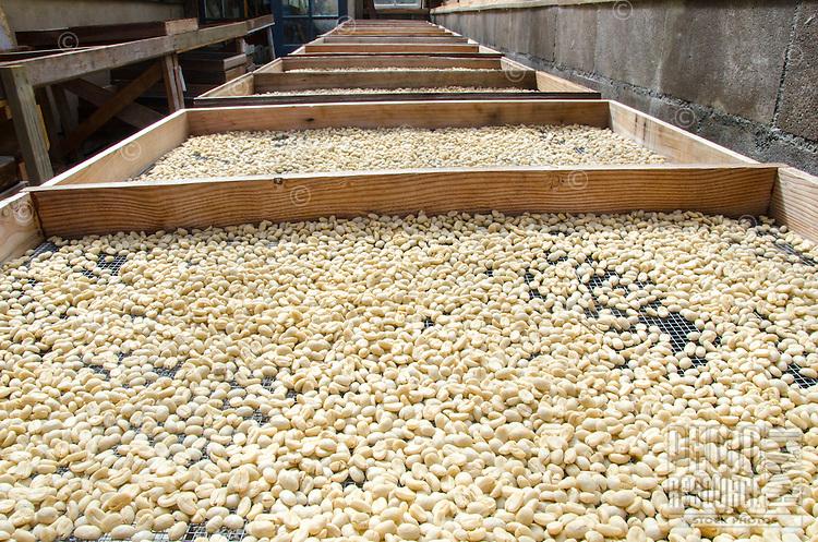 Raw coffee beans drying on palettes in the sun, Pua'a Kea Farm, Pa'auilo, Hamakua area, Big Island.