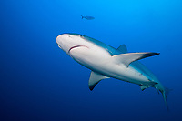 Caribbean reef shark, Carcharhinus pereziii, Gardens of the Queen, Jardines de la Reina National Park, Cuba, Caribbean Sea, Atlantic Ocean