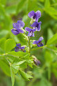 False indigo or wild indigo (Baptisia australis), mid June.