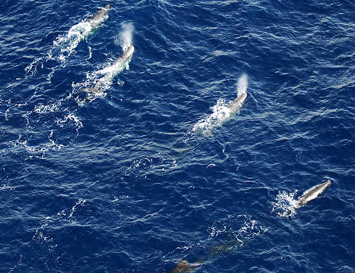 Sperm whales off Ireland's west coast © Irish Maritime Squadron