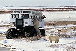 Polar bears viewed by people in tundra buggy and vice versa, Mantioba, Canada